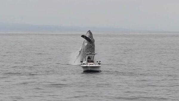 """Neuvěřitelná velryba: Keporkak """"vzlétl"""" nad rybářskou  - Sputnik Česká republika"""